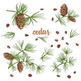 Bosquejo fijado de la tinta de las ramas del cedro del color con los pinecones aislados en el fondo blanco stock de ilustración