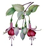 Bosquejo fucsia de la flor de la acuarela foto de archivo