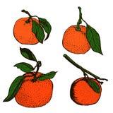 Bosquejos de la mandarina Imagenes de archivo