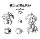 Bosquejos fijados, ejemplo de dibujo negro de la macadamia del vector de las nueces de Isoalted libre illustration