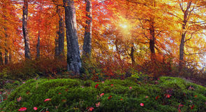 Bosques alpinos de oro Imagen de archivo libre de regalías