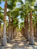 Bosques da palma, Palmeral em Elche perto de Alicante na Espanha fotos de stock