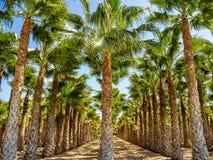 Bosques da palma, Palmeral em Elche perto de Alicante na Espanha imagens de stock
