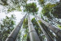 Bosques de bambu (Kyoto, Japão) Foto de Stock