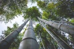 Bosques de bambu (Kyoto, Japão) Imagens de Stock Royalty Free