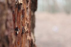 Bosques del pino fotos de archivo