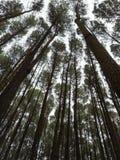 Bosques del pino Foto de archivo