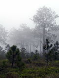 Bosques del pino en la alta montaña en Tailandia foto de archivo libre de regalías