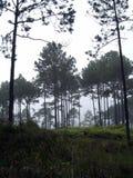 Bosques del pino en la alta montaña en Tailandia fotos de archivo