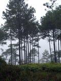 Bosques del pino en la alta montaña en Tailandia imagen de archivo