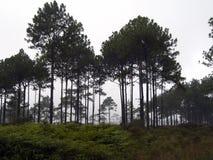 Bosques del pino en la alta montaña en Tailandia foto de archivo
