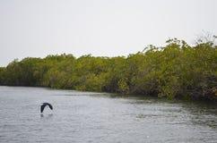 Bosques en el área del delta del río de Saloum, Senegal, África occidental del mangle imagenes de archivo