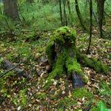 Bosques tropicales, musgo en raíces del árbol Imágenes de archivo libres de regalías