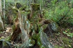 Bosques tropicales, musgo en raíces del árbol Fotos de archivo