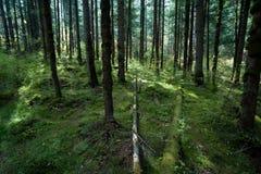 Bosques tropicales, musgo en raíces del árbol Imagen de archivo
