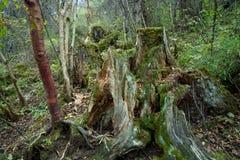 Bosques tropicales, musgo en raíces del árbol Imagenes de archivo