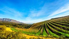 Bosques verde-oliva e vinhedos cercados por montanhas ao longo da estrada de Helshoogte Imagem de Stock