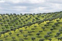 Bosques verde-oliva Fotos de Stock