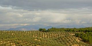 Bosques verde-oliva no campo andaluz com as montanhas obscuras da serra nevada no backgroud Foto de Stock Royalty Free
