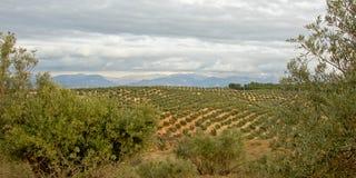 Bosques verde-oliva, quadro por árvores, no campo andaluz com as montanhas obscuras da serra nevada no backgroud Imagens de Stock