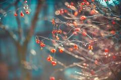 Bosquet avec les baies lilas rouges au premier concept de gel de l'automne photo stock