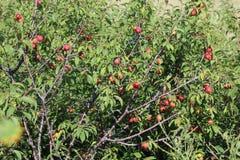 Bosquet de prune sauvage photographie stock libre de droits