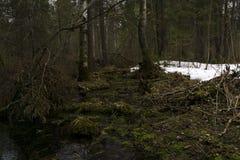 Bosquet marécageux de forêt pendant la fonte de la neige en premier ressort Photos libres de droits