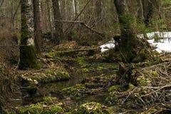 Bosquet marécageux de forêt pendant la fonte de la neige en premier ressort Photographie stock libre de droits