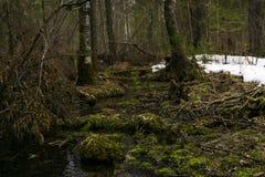 Bosquet marécageux de forêt pendant la fonte de la neige en premier ressort Photographie stock
