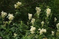 Bosquets d'ulmaria de floraison de Filipendula Photos libres de droits