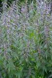 Bosquets d'un cinq-à lames hirsute de motherwort (quinquelobatus L de Leonurus ) images libres de droits