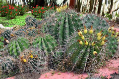 Bosquets de cactus Photographie stock