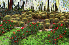 Bosquets de cactus Image stock