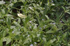 Bosquets de forêt de Myosotis en fleurissant tôt Photos libres de droits