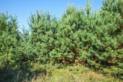 Bosquets de jeunes pins en clairière ensoleillée de forêt un jour d'été photo libre de droits