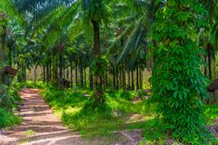 Bosquets des arbres de noix de coco à une ferme Photographie stock