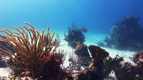 Bosquets des coraux sur le fond arénacé blanc banque de vidéos