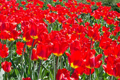 Bosquets des tulipes Photos libres de droits