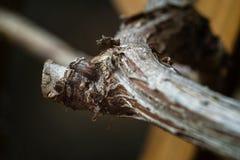Bosrijke spruiten van wijnstokken Royalty-vrije Stock Fotografie