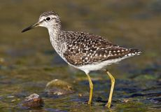 Bosruiter, Wood Sandpiper, Tringa glareola stock photo