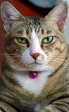 Annoying Cat Stares Straight Close-Up. A cat putting a bossy face Stock Photography