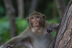 Boss monkey Royalty Free Stock Photo