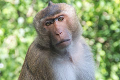 Boss monkeys Royalty Free Stock Image