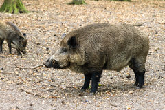 The boss wild boar Stock Photography