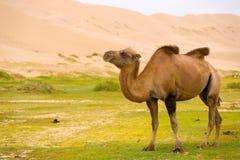 Bosse de chameau de Khongor Els Sand Dune Sagging Bactrian Photos stock