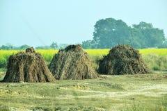 Bosse de tige de maïs sèche près des fermes de moutarde photo libre de droits