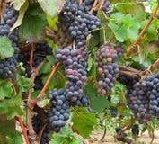 Bossen in een wijngaard in Piemonte, Italië Royalty-vrije Stock Fotografie