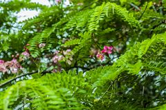 Bossen van acaciabloemen die een mooie, roze kleur, in combinatie met de donkergroene bladeren van de installatie hebben royalty-vrije stock afbeelding