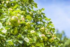 Bossen van appelen Royalty-vrije Stock Afbeelding
