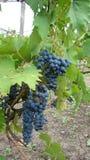 Bossen van blauwe druiven Royalty-vrije Stock Fotografie